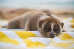 Langsame loris albern das Schlafen auf dem Tuch auf dem Strand herum Lizenzfreies Stockbild