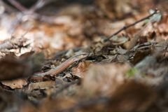 Langsamer Wurm, der durch gefallene Blätter sich bewegt Stockfotografie