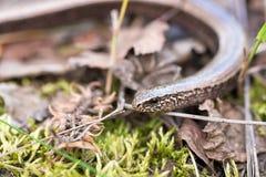 Langsamer Wurm oder Blindschleiche, Anguis zerbrechlich Stockfotografie