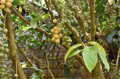 Langsat fruktträdgård Royaltyfria Bilder