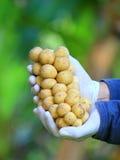 Langsat thailändsk fruktgrupp av Lanzones eller längtan förestående Royaltyfria Foton