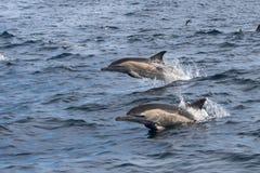 Langschnabeliges Herausspringen der gemeinen Delphine des Wassers Lizenzfreies Stockbild
