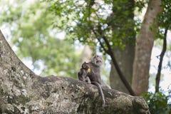 Langschwänzige Affen des Balinese Lizenzfreies Stockbild