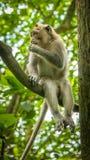 Langschwänzige Makaken, die auf einem Baum, Macaca fascicularis, im heiligen Affe-Wald, Ubud, Indonesien sitzen Stockbild