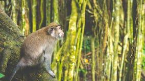 Langschwänzige Makaken, die auf einem Baum, Macaca fascicularis, im heiligen Affe-Wald, Ubud, Indonesien sitzen Lizenzfreie Stockfotografie