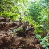 Langschwänzige Makaken im Dschungel Lizenzfreie Stockfotografie