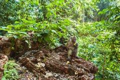 Langschwänzige Makaken im Dschungel Lizenzfreies Stockbild