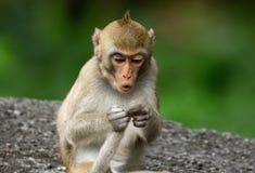Langschwänzige Makaken Macaca fascicularis Stockfotos