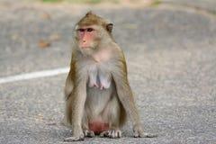 Langschwänzige Makaken Macaca fascicularis Stockbild
