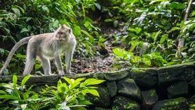 Langschwänzige Makaken Macaca fascicularis, im heiligen Affe-Wald, Ubud, Indonesien Stockbild