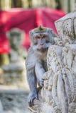 Langschwänzige Makaken (Macaca fascicularis) im heiligen Affen vorn Lizenzfreie Stockfotografie