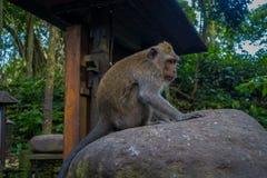 Langschwänzige Makaken Macaca fascicularis im Ubud albern Forest Temple auf Bali Indonesien herum Lizenzfreies Stockbild