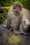 Langschwänzige Makaken Macaca fascicularis im Ubud albern Forest Temple auf Bali Indonesien herum Lizenzfreie Stockfotografie