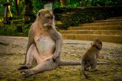 Langschwänzige Makaken Macaca fascicularis im Ubud albern Forest Temple auf Bali Indonesien herum Stockfoto