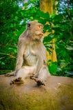 Langschwänzige Makaken Macaca fascicularis im Ubud albern Forest Temple auf Bali Indonesien herum Stockfotos