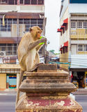 Langschwänzige Makakenaffen, die an den Tempelruinen Prang Sam Yot sich entspannen Lopburi, Thailand-Reiseziele Lizenzfreie Stockbilder