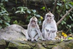 Langschwänzige Makakenaffen in Ubud, Bali, Indonesien Stockbilder