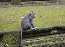 Langschwänzige Makakenmacaca fascicularis in Sangeh albern Wald in Bali, Indonesien herum Lizenzfreies Stockfoto