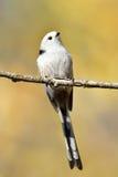 Langschwänzige Meise im natürlichen Lebensraum (aegithalos caudatus) Lizenzfreies Stockbild