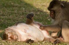 Langschwänzige pflegende Makaken, Thailand Stockfotografie