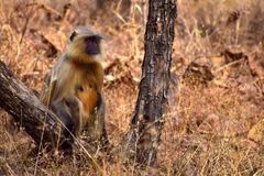 Langschwänzige weibliche Affeaufstellung Stockbild