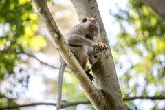 Langschwänziger Affe auf Baum Lizenzfreies Stockfoto
