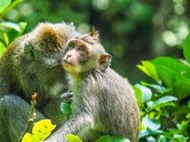 Langschwänziger Affe Baby Balinese Lizenzfreies Stockfoto