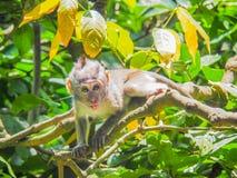 Langschwänziger Affe Baby Balinese Stockfotografie
