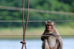 Langschwänziger Affe, der auf der alten Hängebrücke mit gre sitzt Lizenzfreie Stockfotos