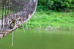Langschwänziger Affe, der auf der alten Hängebrücke mit gre sitzt Lizenzfreies Stockbild