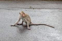 Langschwänziger Affe, der auf Kiesboden sitzt Stockfotos