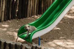 Langschwänziger Affe, der heraus das gleitende Brett überprüft Lizenzfreie Stockbilder