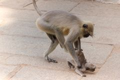 Langschwänziger Affe, der seine Kinder schlägt Stockfoto