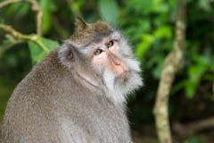 Langschwänziger Affe des Balinese Lizenzfreie Stockfotografie