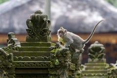 Langschwänziger Affe des Balinese Lizenzfreies Stockfoto