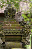 Langschwänziger Affe des Balinese Lizenzfreies Stockbild