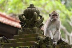 Langschwänziger Affe des Balinese Stockfotos