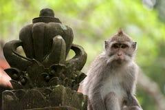 Langschwänziger Affe des Balinese Stockbilder