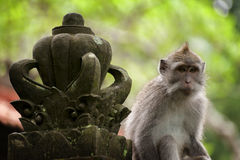 Langschwänziger Affe des Balinese Lizenzfreie Stockfotos