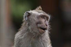 Langschwänziger Affe des Balinese Stockfoto