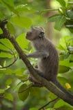 Langschwänziger Affe des Balinese Stockfotografie