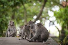 Langschwänziger Affe des Balinese Lizenzfreie Stockbilder