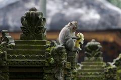 Langschwänziger Affe des Balinese Stockbild