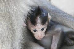 Langschwänziger Affe des Balinesebabys und seine Mutter Stockfotos