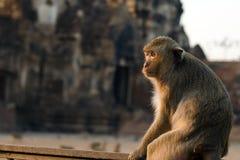 Langschwänziger Affe in Lopburi-Provinz, Thailand Stockfotografie