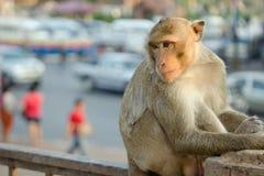 Langschwänziger Affe in Lopburi-Provinz, Thailand Lizenzfreies Stockbild
