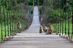 Langschwänziger Affe oder Krabbe-essen Makaken, der auf dem alten Sus sitzt Stockbilder