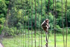 Langschwänziger Affe oder Krabbe-essen Makaken, der auf dem alten Sus sitzt Lizenzfreie Stockfotos