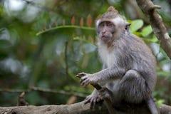 Langschwänziger Makaken-Affe Stockfoto
