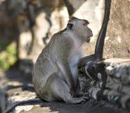 Langschwänziger Makaken-Affe, der auf alten Ruinen von Angkor Wa sitzt Stockfoto